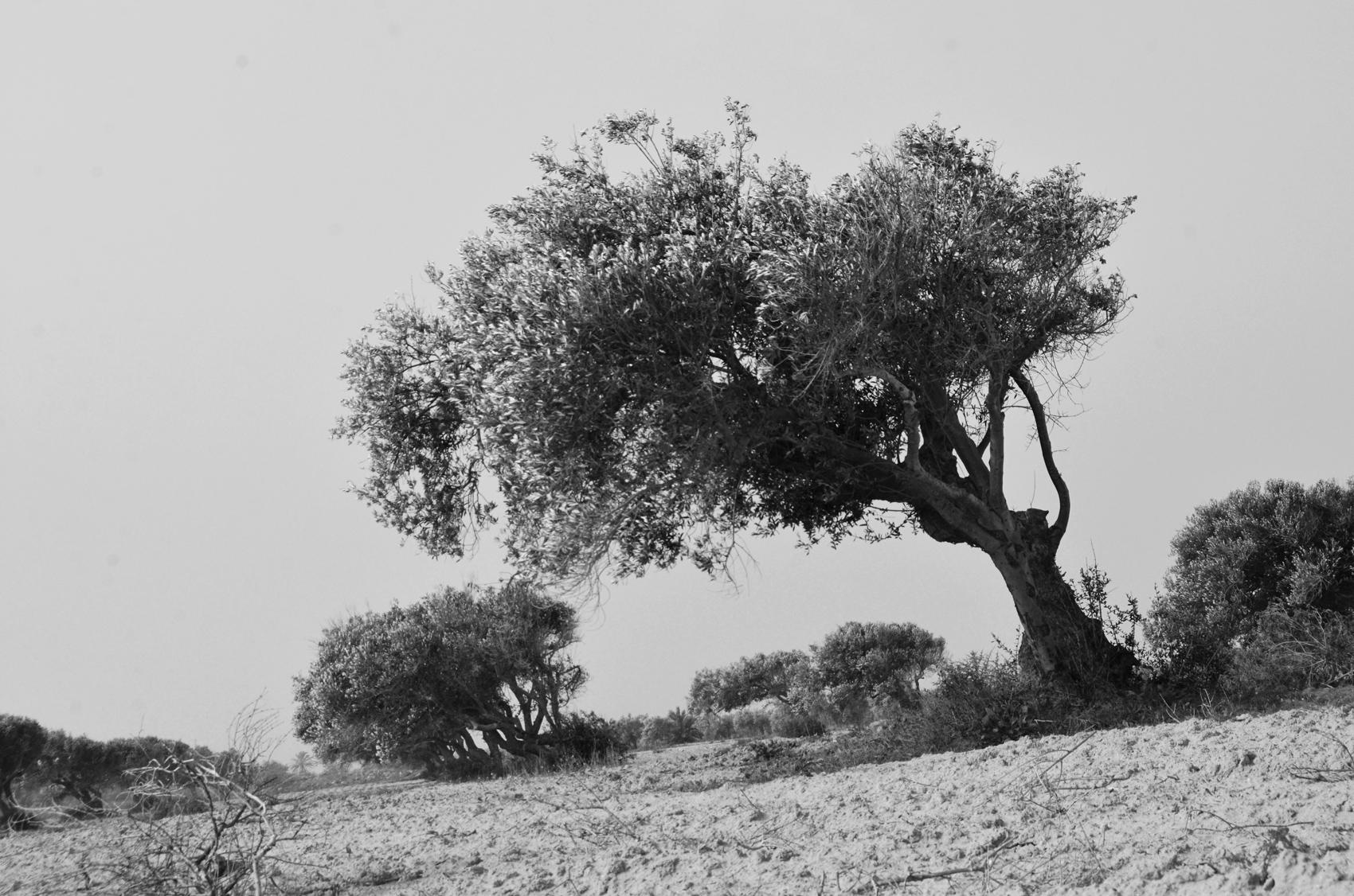 Olive trees near Ben Guerdane.